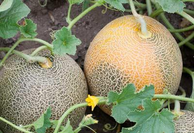 Garden Melons