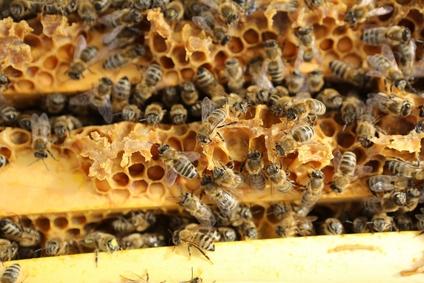 Honeybee Colony
