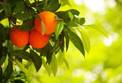 GMO Orange Tree