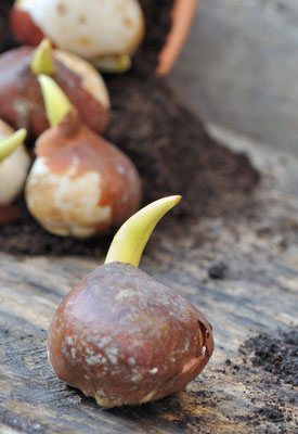 Planting Fall Bulbs