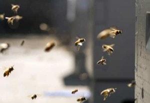 neonicotinoid-bees