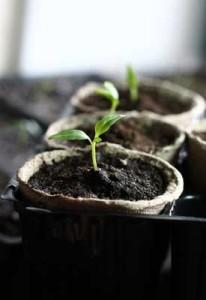 pepper-seedlings