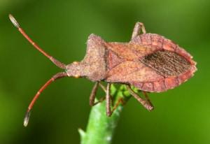 squash-bug