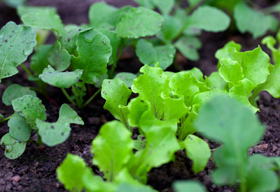 Winter Vegetable Crop