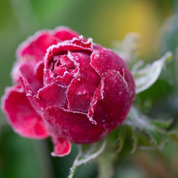 Cold Rose