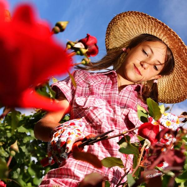 Growing Rose Plants