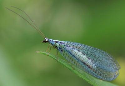 Green Lacewing (Chrysoperla rufilabris) | Beneficial ...