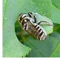 Leafcutter Bees