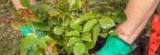 Planting a Rose Bush