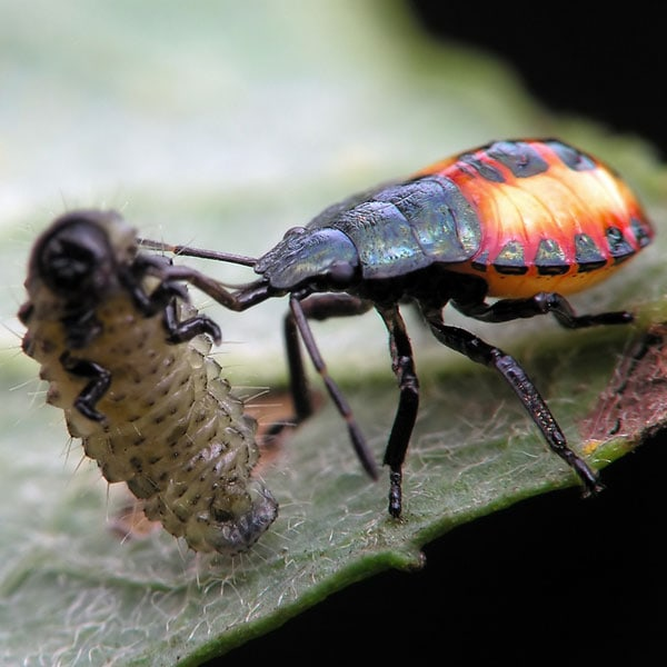 Beneficial Insects 101 Good Bugs For Your Garden