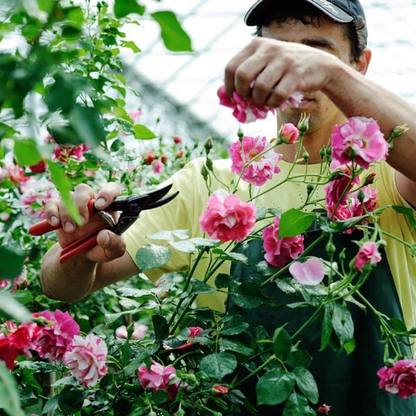 How And When To Prune Roses Planet Natural