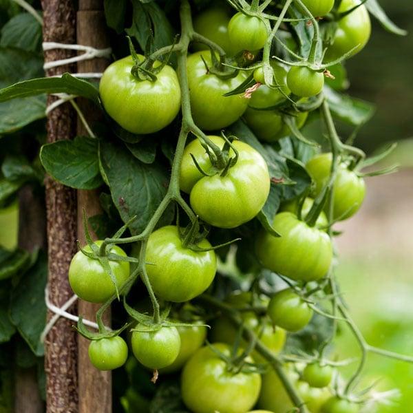 Organic Tomato Plant
