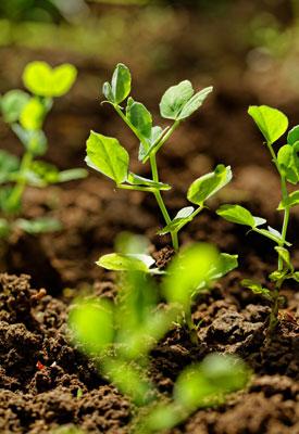 Pea Plants