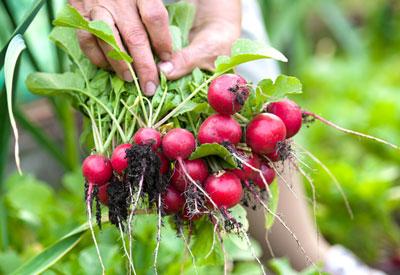 radish-crop