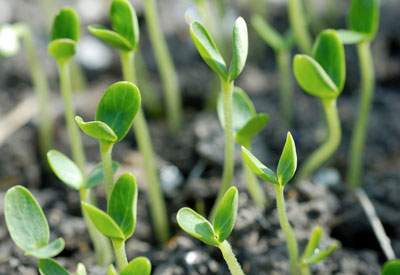 Seedlings and Soil