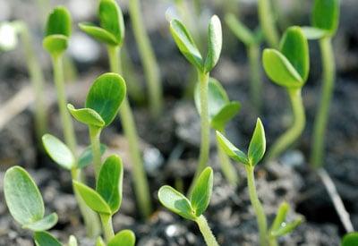Seedlings and Soil