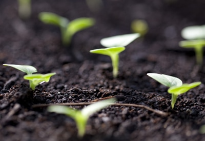 Directly Sown Seeds