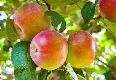 Heirloom Apple Tree