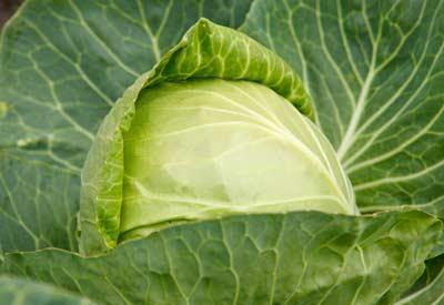 Organic Garden Cabbage