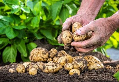 GMO Potatoes