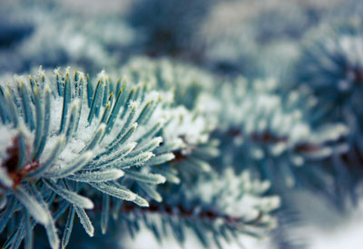 Snowy Conifer