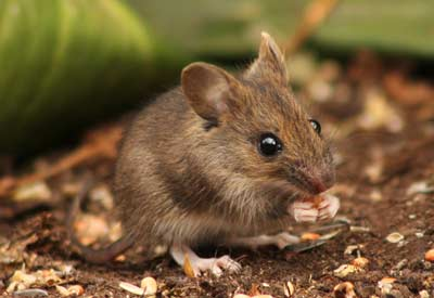 How to Keep Mice Out of the Compost Pile | Planet Natural