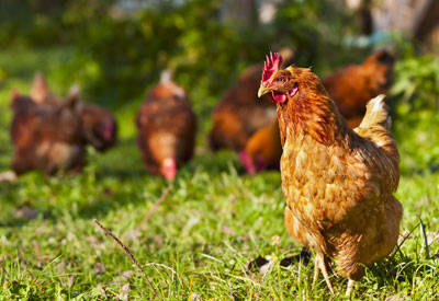 The Benefits of Backyard Chickens | Planet Natural