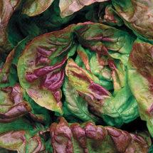 Yugoslavian Red Lettuce