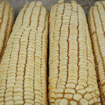 Thompson Prolific Dent Corn
