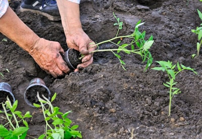 Transplanting Tomato Plants