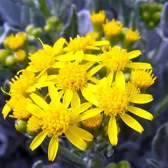 Houndstooth Groundsel