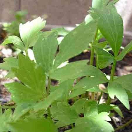 Lovage Herb