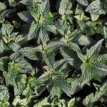 Spearmint Seeds