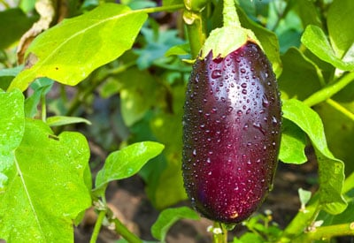 Genetically Modified Eggplant