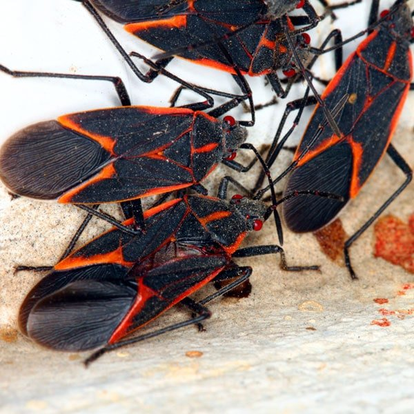 How To Get Rid Of Boxelder Bugs Planet Natural