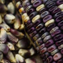 Corn, Cherokee White Eagle