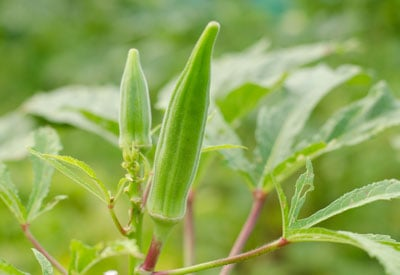 Healthy Okra Plant