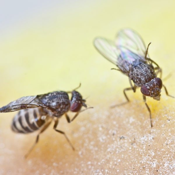 Fruit Fly Photo