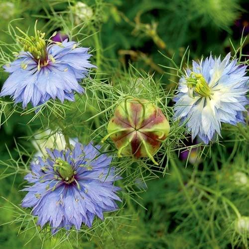 Flower, Love-In-A-Mist