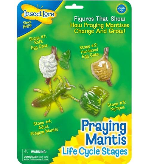 Praying Mantis Life Cycle Stages