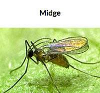 Aphid Midge