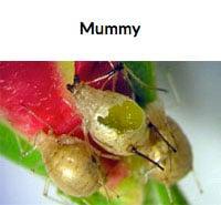Aphid Mummy
