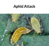 Aphid Predator Larva