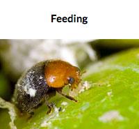 Cryptolaemus Feeding