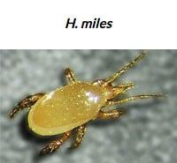 Hypoaspis aculeifer