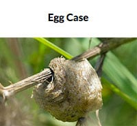 Mantis Egg Case