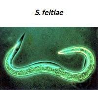 S. Feltiae