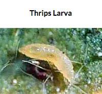 Thrips Larva