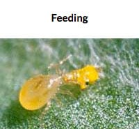 Feeding on Thrips