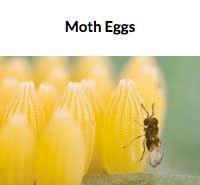 Egg Parasite